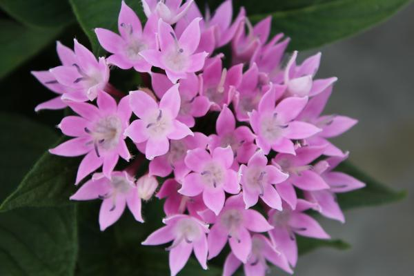 Pentas Lanceolata Starcluster Lavender Lucas Greenhouses