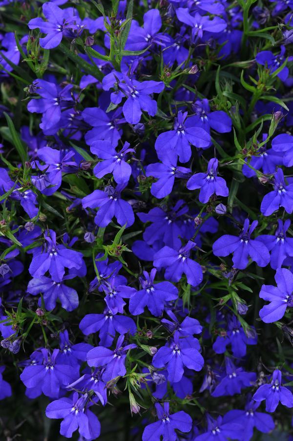 Lobelia Erinus Magadi Basket Dark Blue Lucas Greenhouses
