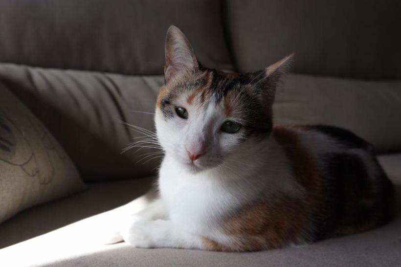 la gata amarilla