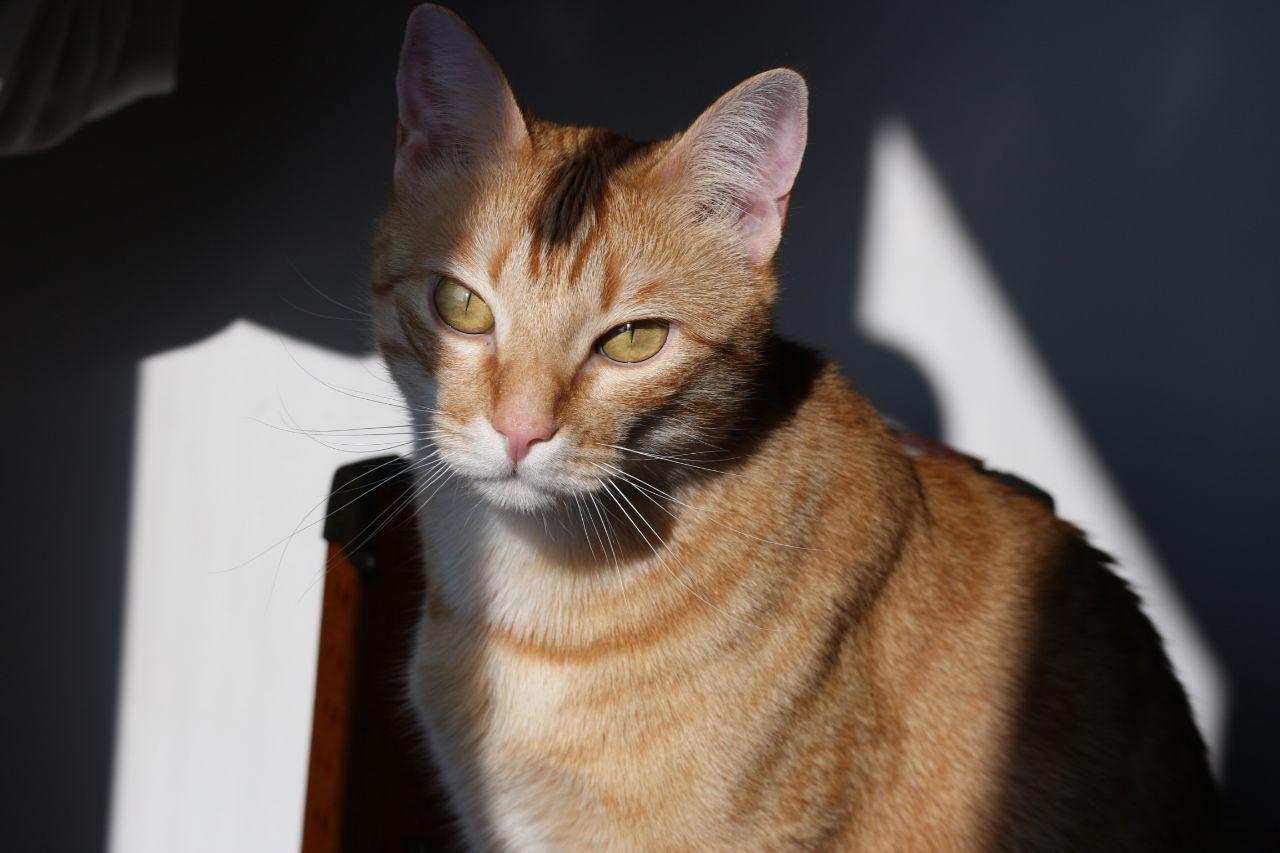 Conocías Estos Detalles Sobre Los Gatos Naranjas