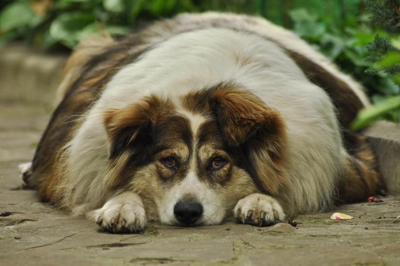 Perro con sobrepeso