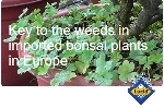 Key to the weeds in imported bonsai plants in Europe