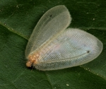 Key to the Afrotropical Silky Lacewings