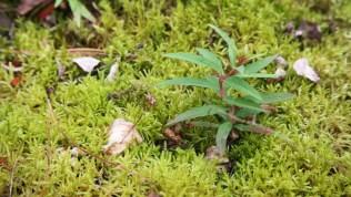 Fireweed and moss
