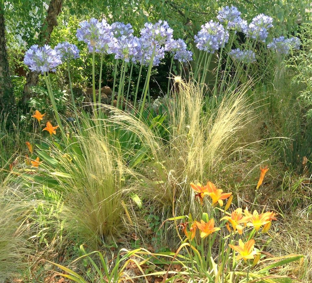 Agapanthus luciole design landscape architects agapanthus daylily feather grass izmirmasajfo