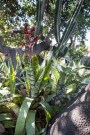 The bromeliad is a hybrid Aechmaea picked up at the World Bromeliad Conference when it was in Los Angeles long ago. This plant has proven to be tough, exotic and carefree. It is a bit prickly, but if we can get it to grow up into a tree, it will be quite an interesting effect.
