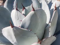 Artichoke agave (Agave parryi) remains compact, although it does send pups out to colonize the surrounding garden.