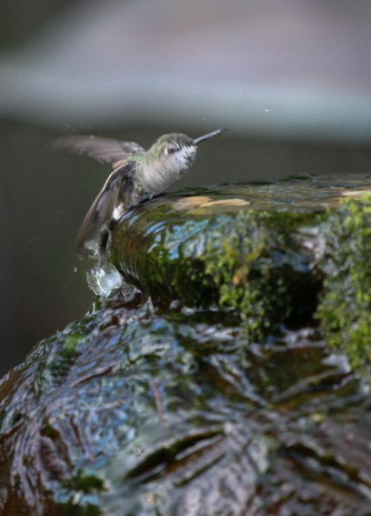 Perched in flowing water, the birds flap, twist and crouch for an effective bath.