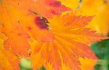 Full Moon Maple (Acer japonicum 'O-isame')