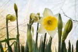 white and gold daffodil
