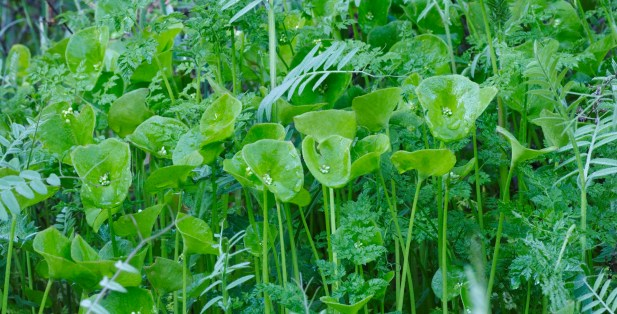 Miners' Lettuce (annual)