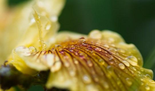 Iris Pacific Coast yellow