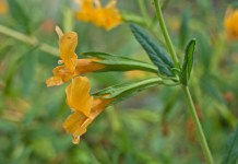 Monkeyflower