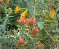 Paintbrush needs to be planted next to monkeyflowers