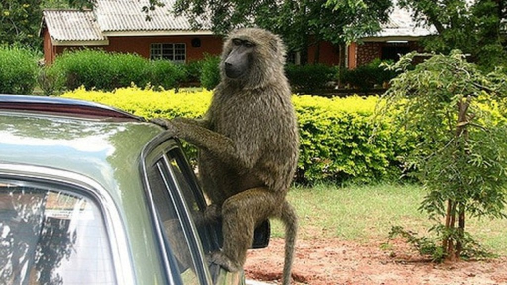Monkey Arrested For Attacking 13 Year Old Girl In Nigeria - Photos