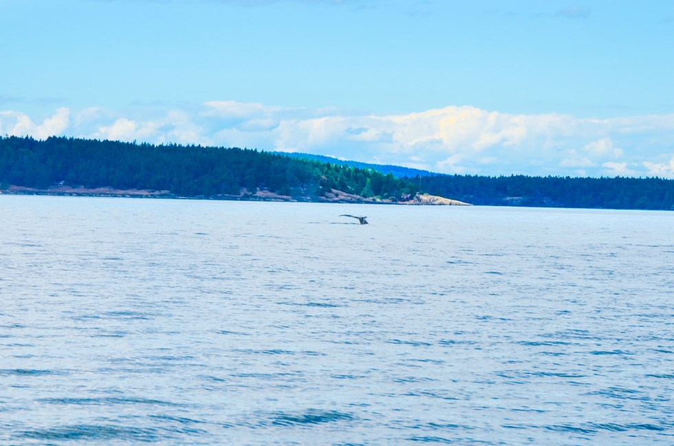 What to Do in Victoria, B.C. Travel Guide   Whale Watching