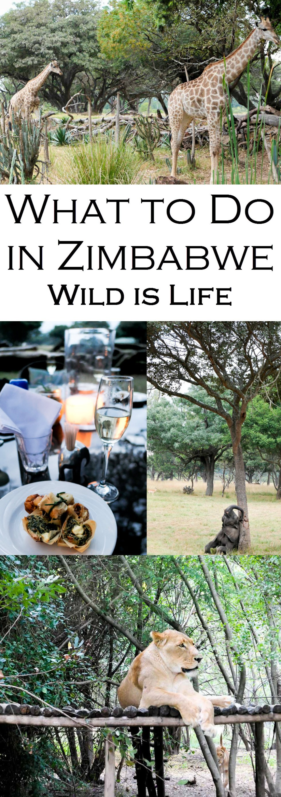 Wondering What to do in Harare, Zimbabwe? Visit Wild is Life an animal conservancy working to return injured animals to the wild. Enjoy feeding giraffes, baby elephants, and afternoon tea and coffee. End the afternoon with champagne and canapes for sundowners! #safari #lpworldtravels #africa #zimbabwe #animals #zebras #giraffes #lions #elephants #travleguide #travelblog #travelblogger #traveltips #wanderlust
