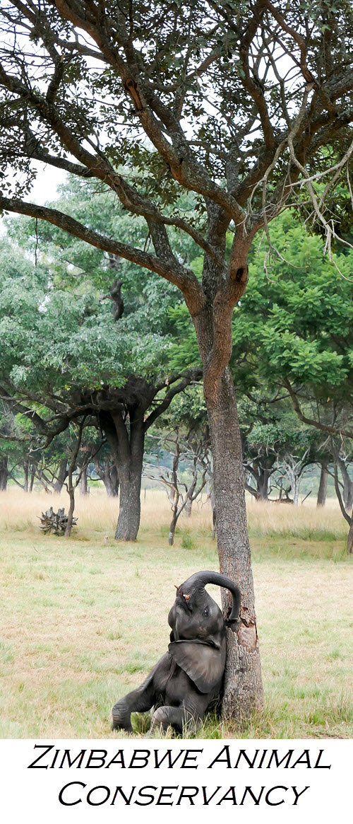 Zimbabwe Animal Conservancy - Wild is Life. Wondering What to do in Harare, Zimbabwe? Visit Wild is Life an animal conservancy working to return injured animals to the wild. Enjoy feeding giraffes, baby elephants, and afternoon tea and coffee. End the afternoon with champagne and canapes for sundowners! #safari #lpworldtravels #africa #zimbabwe #animals #zebras #giraffes #lions #elephants #travleguide #travelblog #travelblogger #traveltips #wanderlust