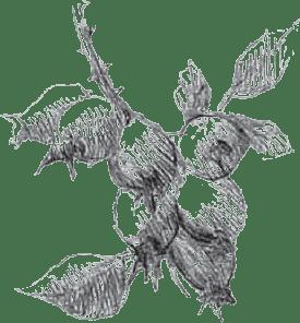 braodleaf