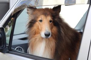 車が大好きなコリー犬 ラッキー