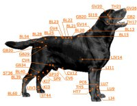 Canine Veterinary Accupuncture Chart