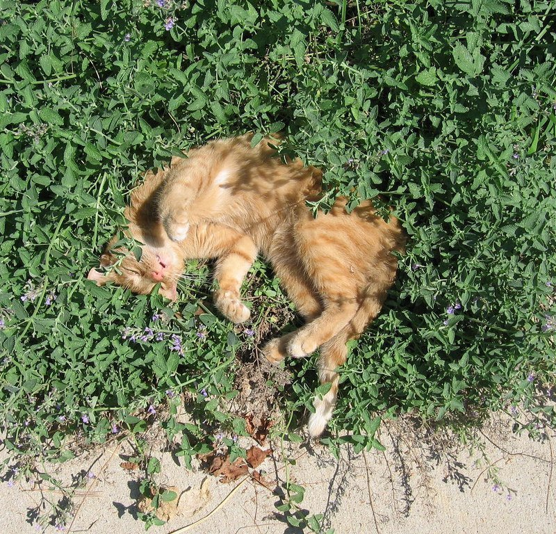 Catnip. Is it a drug?