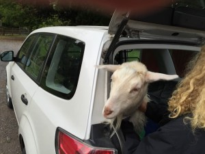 A goat trying to climb out of the back.