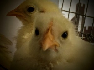 A close-up of our baby white bantam cochin chicks.