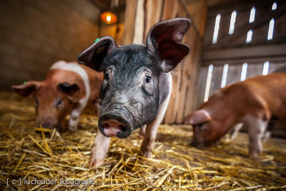 Livar (varkens) naar Gaiazoo
