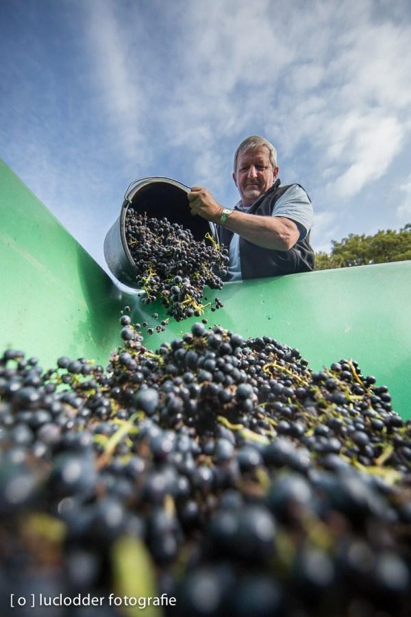 Het wijnmakersgilde Rolduc plukte druiven in eigen wijngaard.