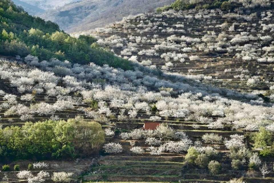 Valle de Jerte, lugar en el que florecen los cerezos
