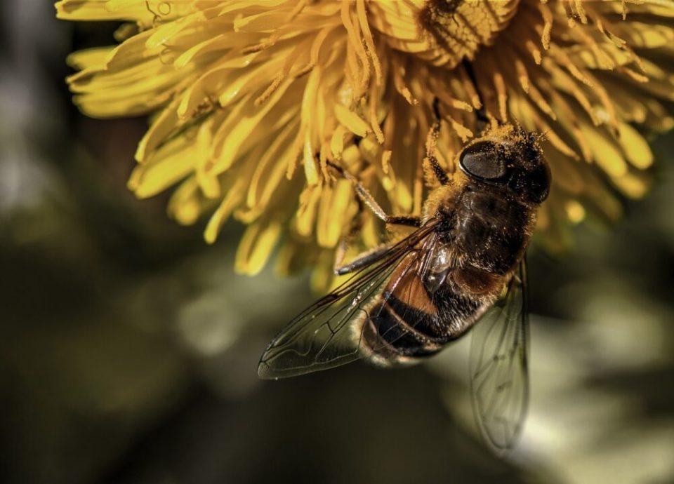 Están disminuyendo las abejas silvestres