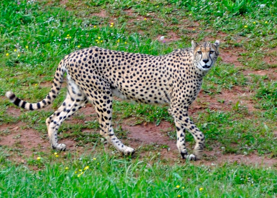leopardo parque natural cabárceno