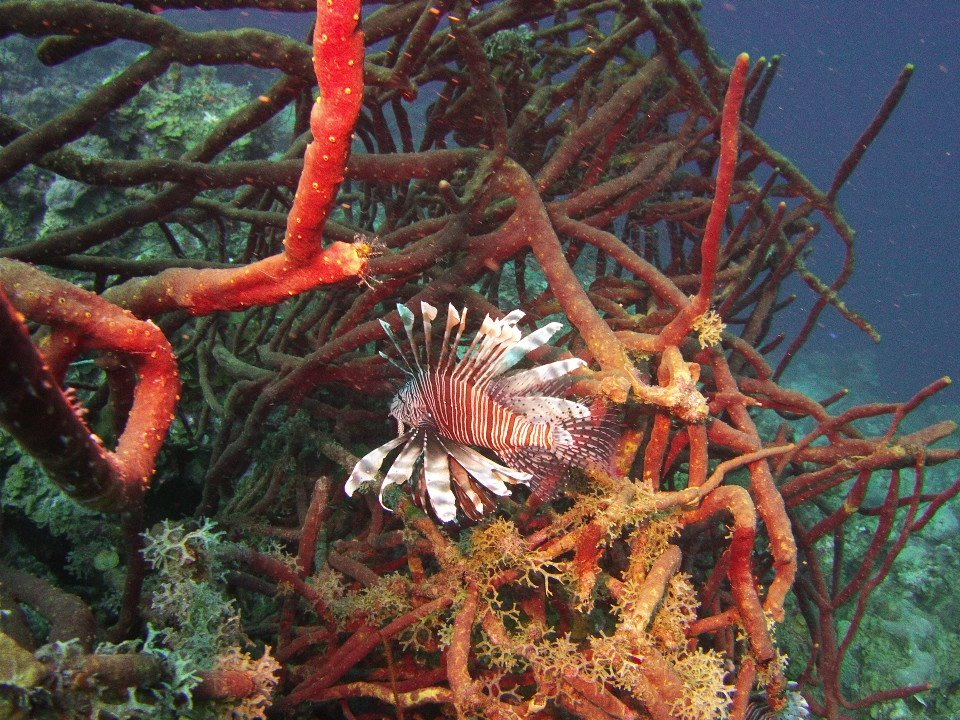 Lionfish Photo courtesy of Paige Purdy, Heartland Scuba Center.