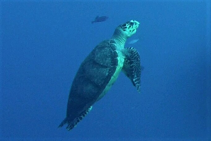Sea Turtle Guadeloupe