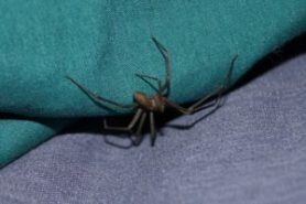 venomous spider lurking in the sheet
