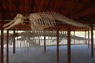 Na Ilha do Caju, um esqueleto completo de baleia