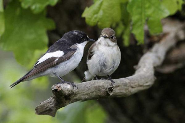 O papa-moscas-preto, notável exemplo de cooperação social