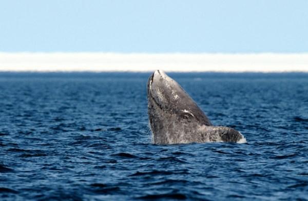 Bowhead Whale (Balaena mysticetus) breaching. Foxe Basin, Nunavut, Canada, April.
