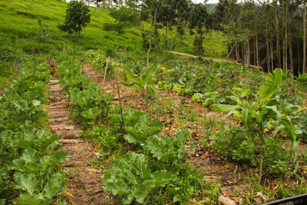 A sintropia pode ser aplicada tanto em plantações extensas quanto em hortas pequenas, e até naquelas de fundo de quintal. Os princípios são os mesmos.