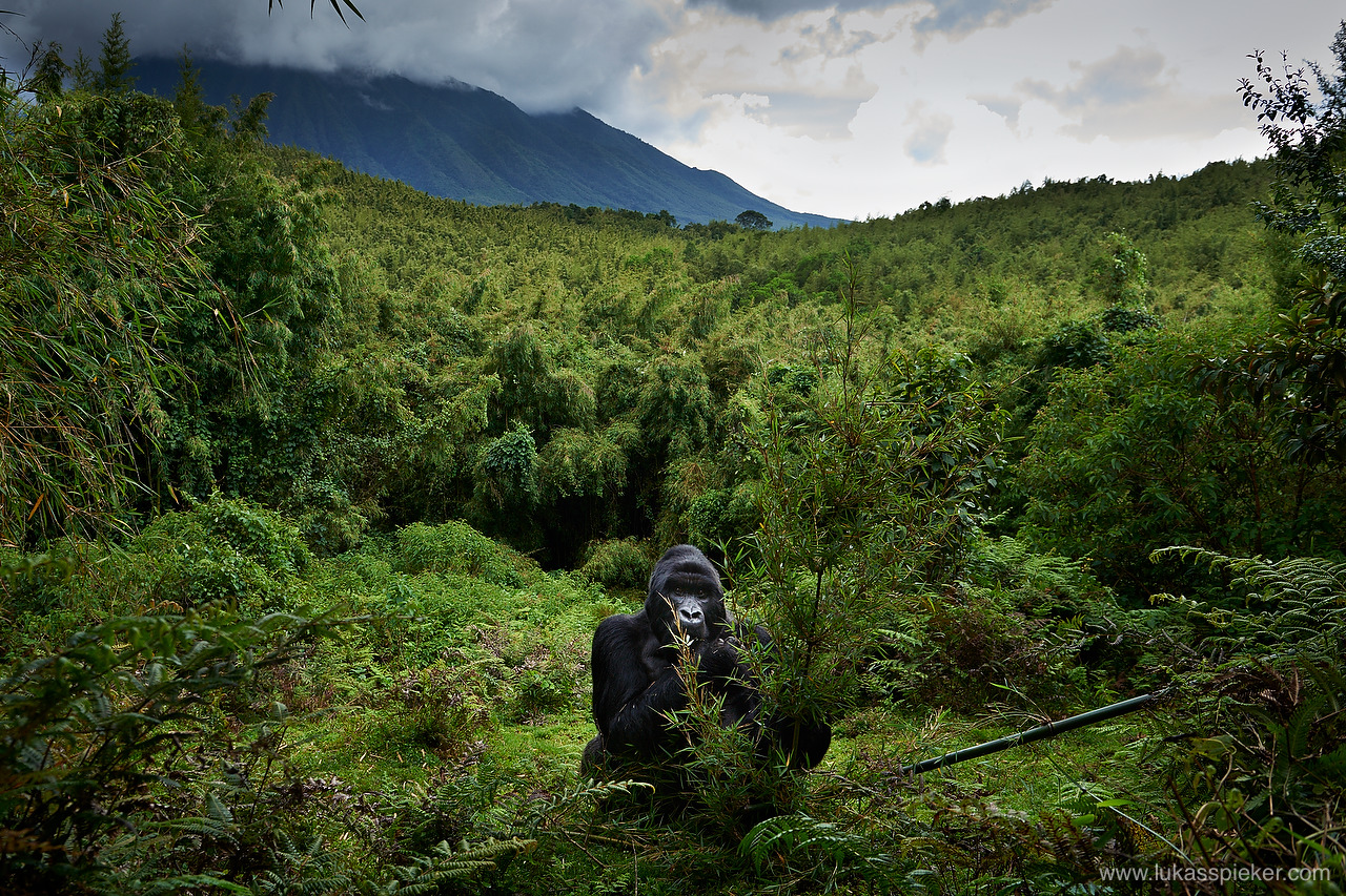 Mountain gorillaorilla live in the dense forest on the often misty and cold slopes of the dormant volcanoes in an altitude between 2200 to 4300 meters.
