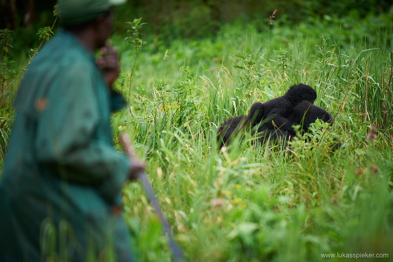 Mountain gorilla living in the National Park in the Rwanda Congo border region are on the Red List of Endangered Species due to habitat loss, poaching, disease, and war.