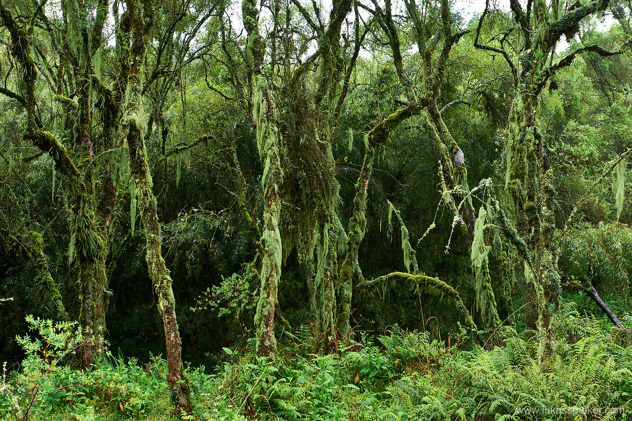 Mountain gorilla habitat: Dense rainforest in the Volcanoes National Park in northwestern Rwanda.