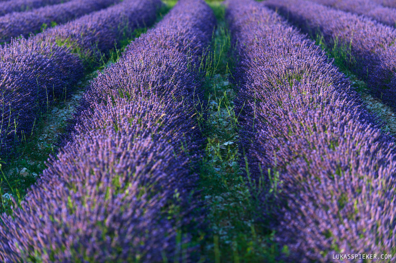 A lavender field in Provence, France.
