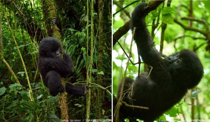 A baby of the Rugendo gorilla family climbs a tree in the jungle of the Virunga National Park in the Democratic Republic of the Congo.