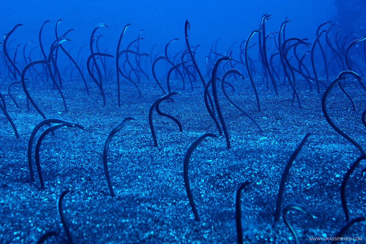 Hundreds of garden eels (Heteroconger longissimus) stick out their heads from the seabed in about 35 metres depth to eat plancton. The body of the almost sessile vertebrate animals remains in the sand, and when a bigger animal approaches, the whole colony of eels slowly disappears in the sand.