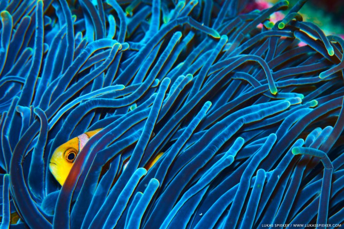 A juvenile twobar anemonefish, or clownfish (Amphiprion allardi) hides in the stinging tentacles of an anemone, Memba Bay, Strait of Mozambique.
