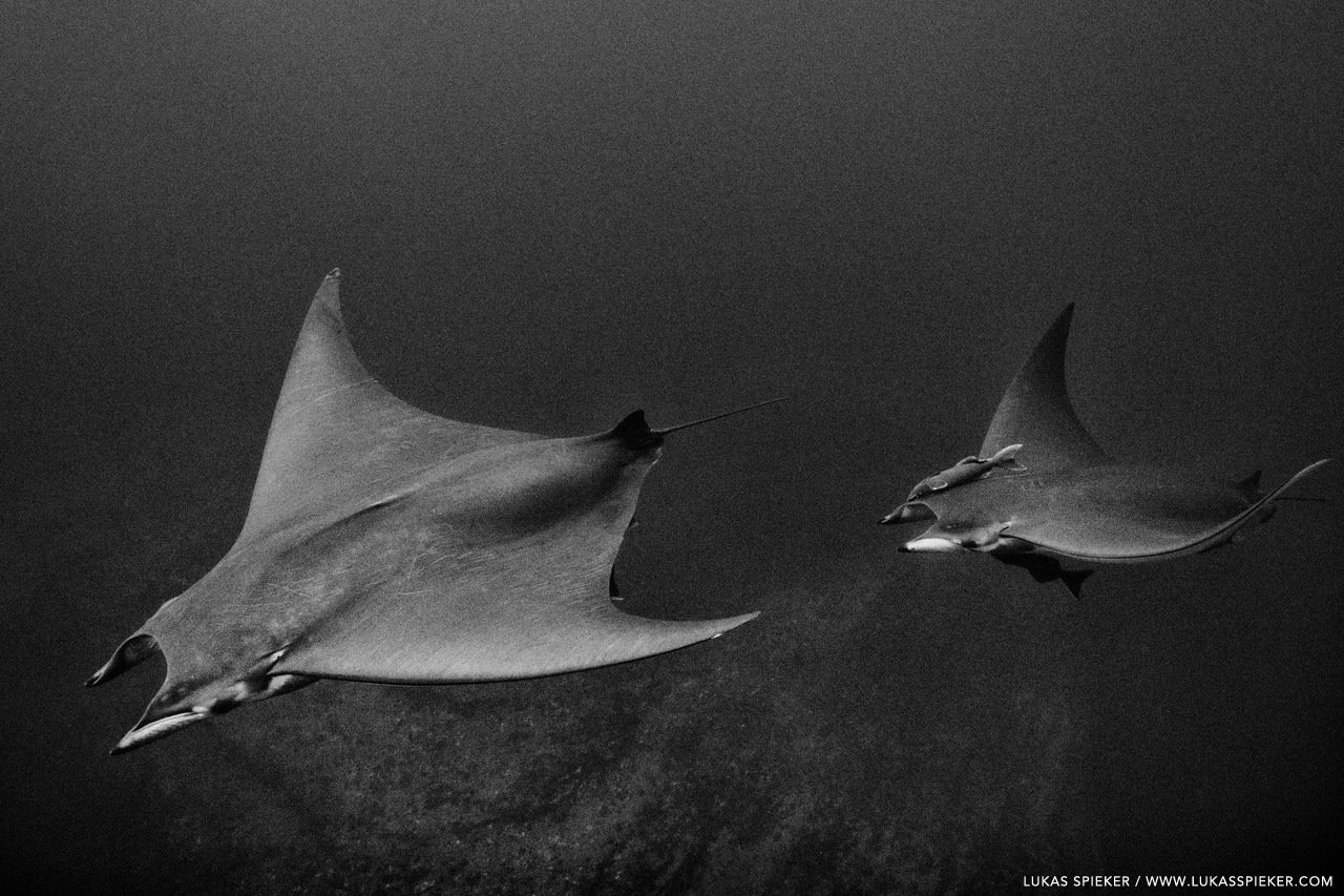 Devil rays (Mobula tarapacana) glide through the Atlantic at Princess Alice Bank, Azores. Princess Alice Bank is a volcanic seamount on the Mid-Atlantic Ridge rising frommore than two thousand metres to a depth of around 40 metres below the ocean surface.