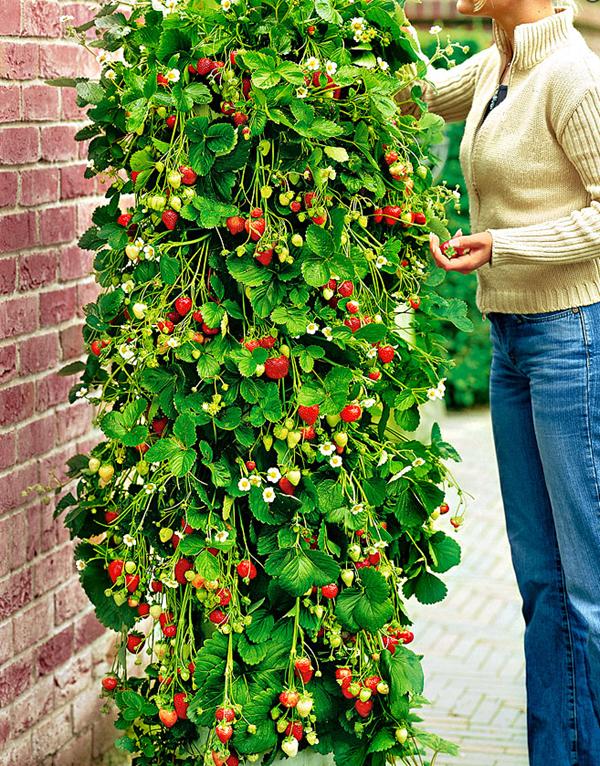 Capsuni curgatori - plante pentru terase si balcon