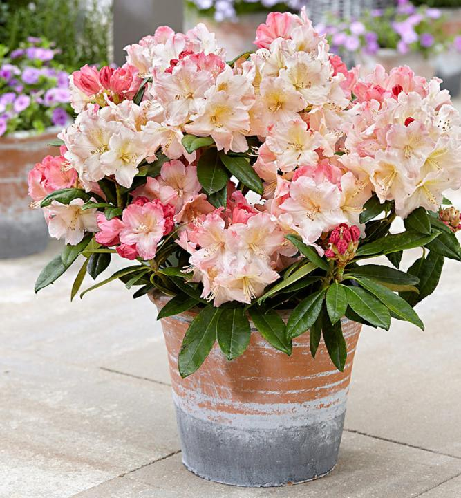 Image result for rododendron